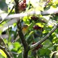 ムギマキ若鳥(3)044A4696