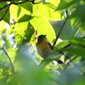 ムギマキ若鳥(5)FK3A7855