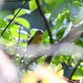 ムギマキ若鳥(2)FK3A7852