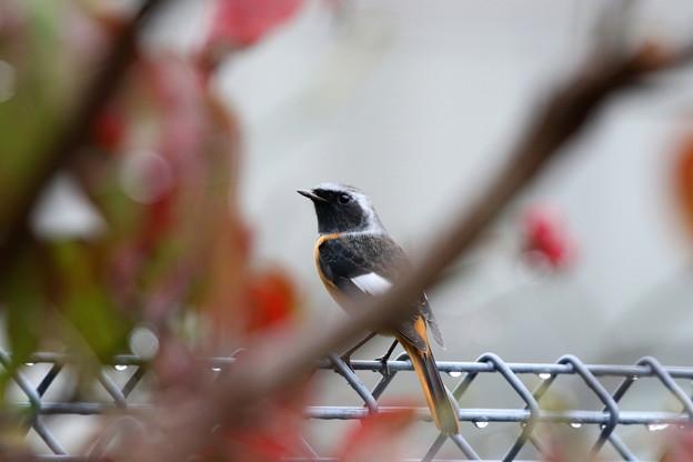 お庭にやって来たジョウビタキ♂(1)FK3A7860