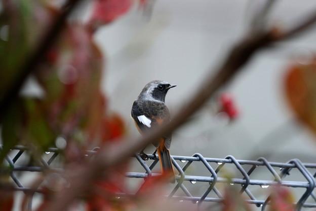 お庭にやって来たジョウビタキ♂(2)FK3A7868