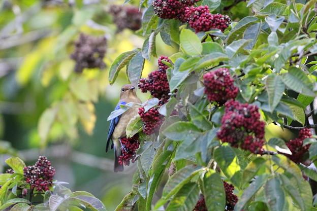 ゴシュユの実に夢中のオオルリ♂若鳥(1)044A4895