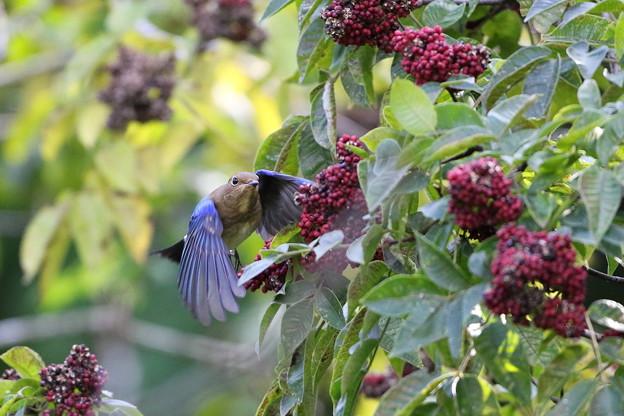 ゴシュユの実に夢中のオオルリ♂若鳥(2)044A4896