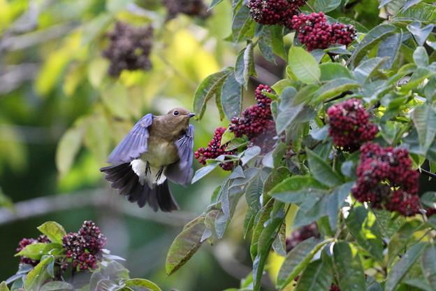 ゴシュユの実に夢中のオオルリ♂若鳥(3)044A4897