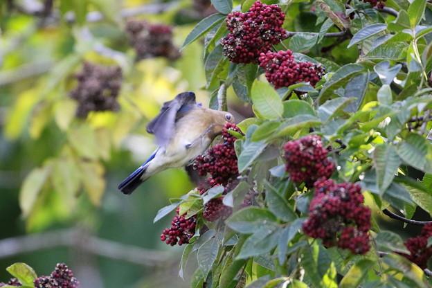 ゴシュユの実に夢中のオオルリ♂若鳥(4)044A4898