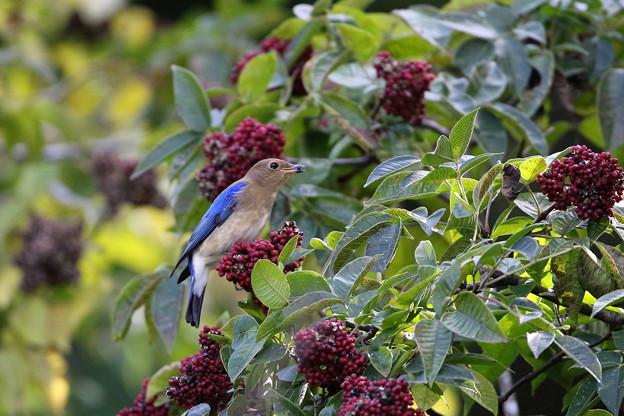 ゴシュユの実に夢中のオオルリ♂若鳥(5)044A4976