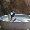 シジュウカラ♀水浴び(1)FK3A7226