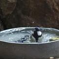 シジュウカラ♀水浴び(3)FK3A7235