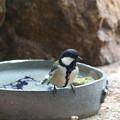 シジュウカラ♀水浴び(4)FK3A7237