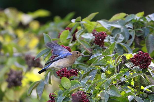 オオルリ♂若鳥とゴシュユの実(3)044A4971