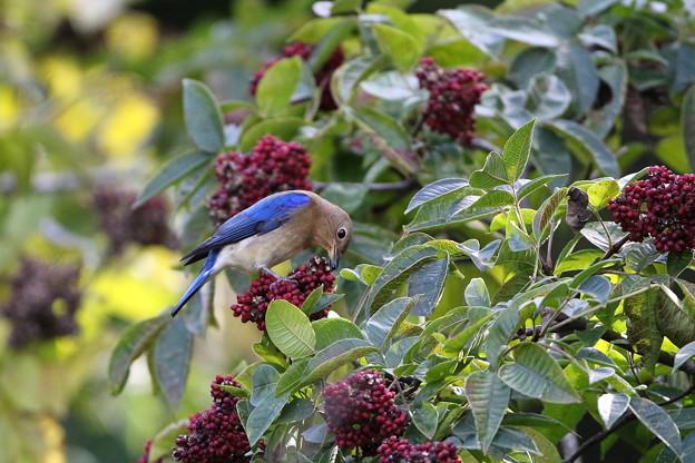 オオルリ♂若鳥とゴシュユの実(4)044A4988