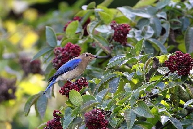 オオルリ♂若鳥とゴシュユの実(5)044A4989