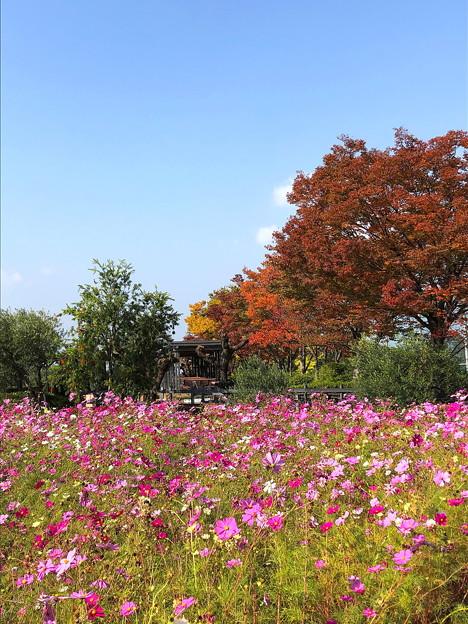 コスモス畑(4)と紅葉 IMG_9986 by ふうさん