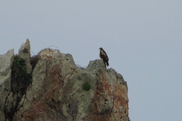 野鳥(1)橋杭岩のトビ IMG_6106