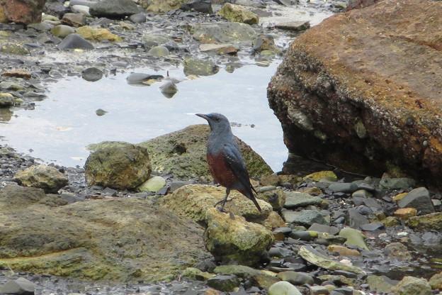 野鳥(2)橋杭岩のイソヒヨドリ♂ IMG_6119