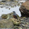 Photos: 野鳥(2)橋杭岩のイソヒヨドリ♂ IMG_6119