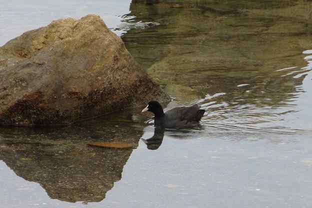 野鳥(3)橋杭岩のオオバン IMG_6108