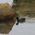 Photos: 野鳥(3)橋杭岩のオオバン IMG_6108