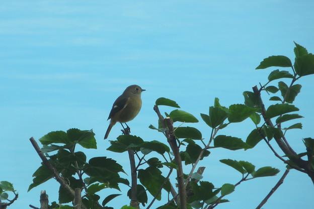 野鳥(4)ホテルのプールサイドののジョウビタキ♀ IMG_6133