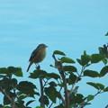 Photos: 野鳥(4)ホテルのプールサイドののジョウビタキ♀ IMG_6133