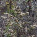 ベニマシコ♀(6)4羽も 044A6842