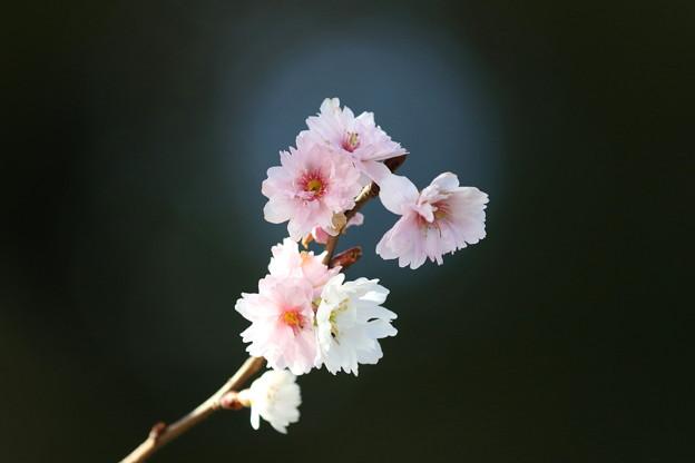 季節外れの桜(1)FK3A9834