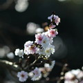 季節外れの桜(2)FK3A9841