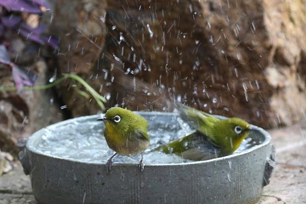 メジロ水浴び(4)FK3A9759