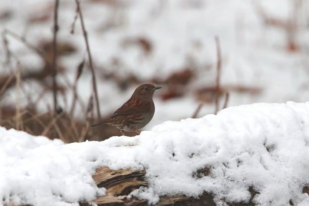雪中のカヤクグリ(1)044A9928