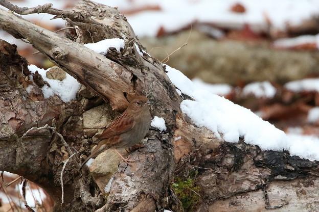 雪中のカヤクグリ(4)044A9904