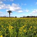 公園の菜の花畑(2)IMG_0437 by ふうさん