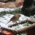 雪中で採餌するジョウビタキ♀(1)FK3A0642