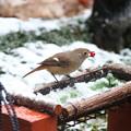 雪中で採餌するジョウビタキ♀(2)FK3A0643