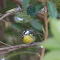 Photos: 超珍鳥キバラガラ♀(1)FK3A0879