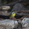 超珍鳥キバラガラ♀(2)FK3A0834