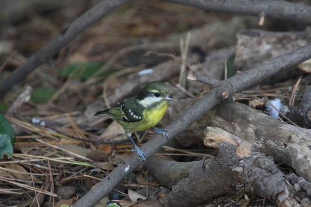 超珍鳥キバラガラ♀(3)FK3A0825