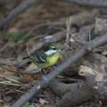 Photos: 超珍鳥キバラガラ♀(3)FK3A0825