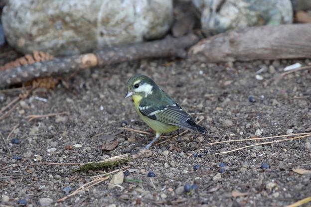 超珍鳥キバラガラ♀(4)FK3A0858