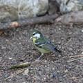 Photos: 超珍鳥キバラガラ♀(4)FK3A0858