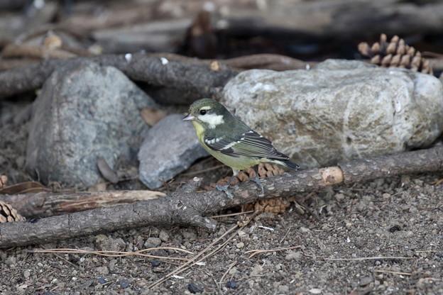 超珍鳥キバラガラ♀(5)FK3A0862