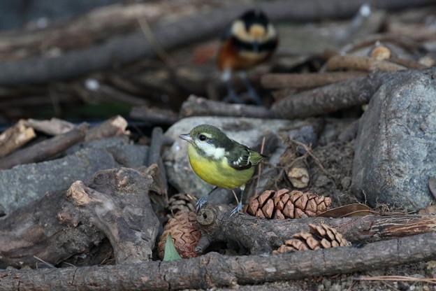 超珍鳥キバラガラ♀(6)FK3A0870
