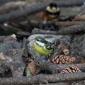 Photos: 超珍鳥キバラガラ♀(6)FK3A0870