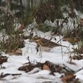 残雪のカシラダカ(1)044A9872