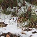 残雪のカシラダカ(2)044A9879