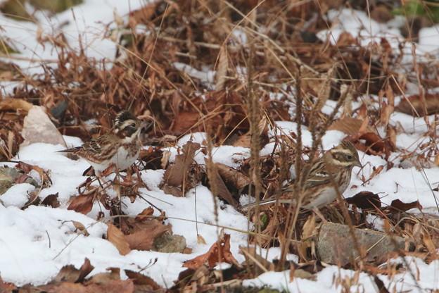 残雪のカシラダカ(4)044A9876