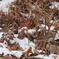 Photos: 残雪のカシラダカ(4)044A9876