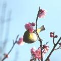 Photos: 梅メジロ(2)FK3A1023