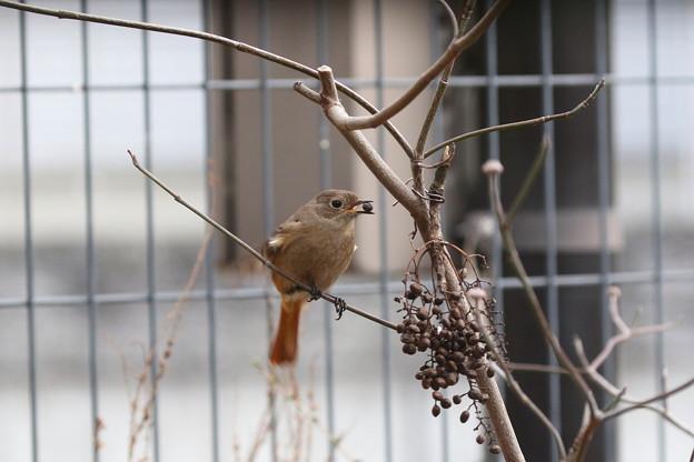 お庭で放し飼いのジョウビタキ♀(4)FK3A2608