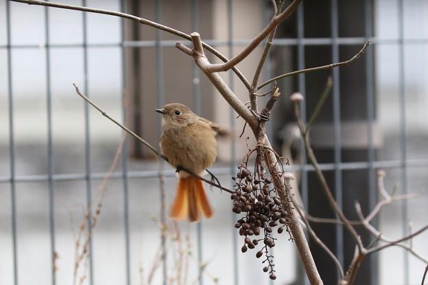 お庭で放し飼いのジョウビタキ♀(5)FK3A2612