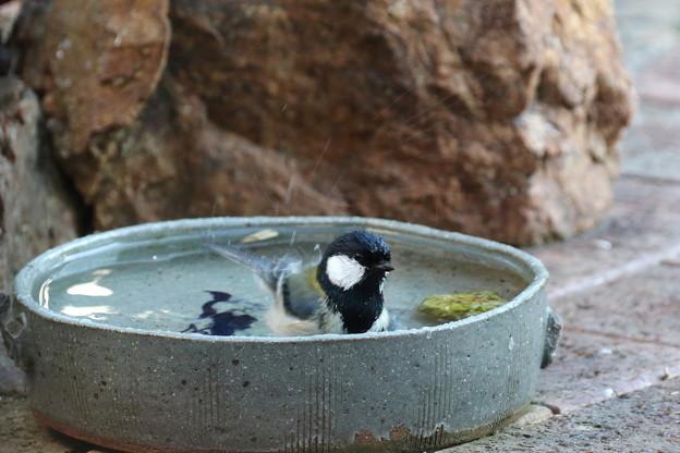 シジュウカラ♂水浴び(4)FK3A2489
